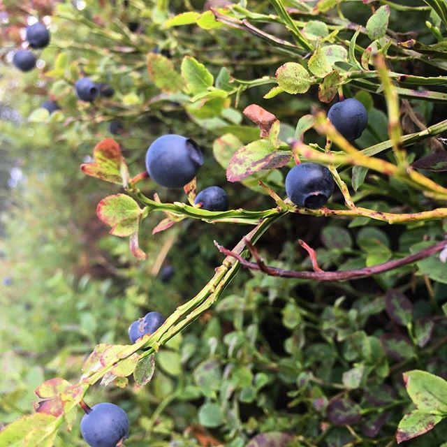 Hela skogen är full av blåbär! Lycka.