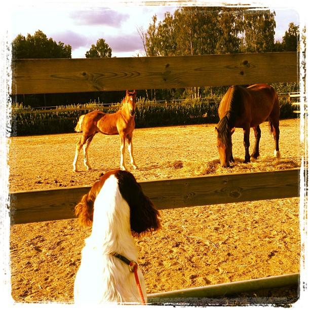 Vivi och hästarna. Ögonblicket efteråt nosade de också på varandra. Modig tjej.