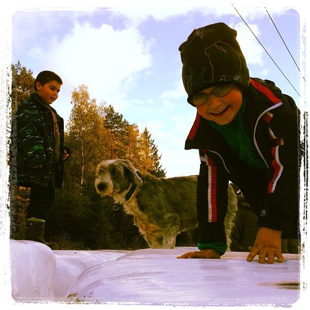 Barn och hundar på ensilageskuttning.