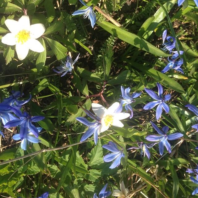 Vår. Överallt dessa otroligt efterlängtade blommor, som en finmatta över världen.