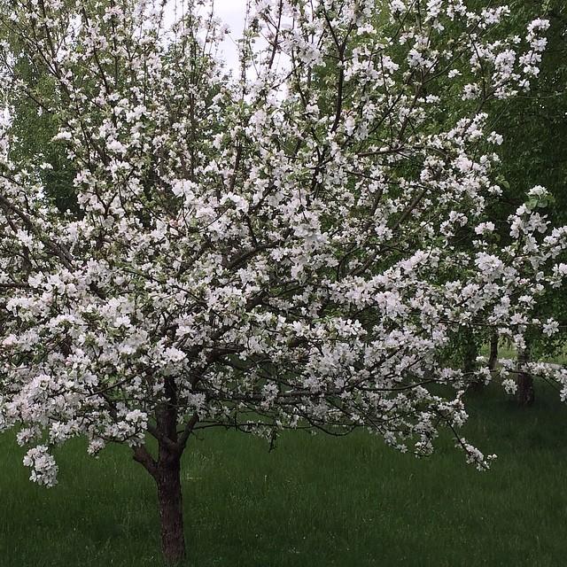 Nu blommar äppelträdet.