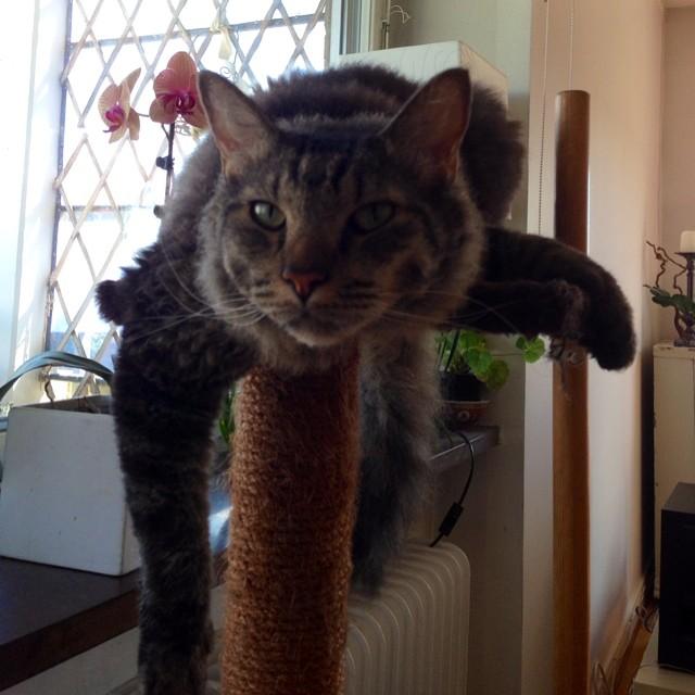 Rally-Sallys katt. En avslappnad sak. Lykke är djupt imponerad av kattens klätterställning.