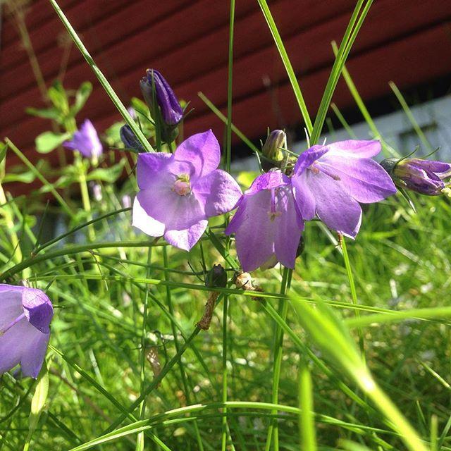 Movitz ville att vi skulle fotografera alla blommor i trädgården och fråga om namnen. Det här är väl en hederlig gammal blåklocka. Men kommentera gärna resten av blombilderna med rätt namn. Tack!