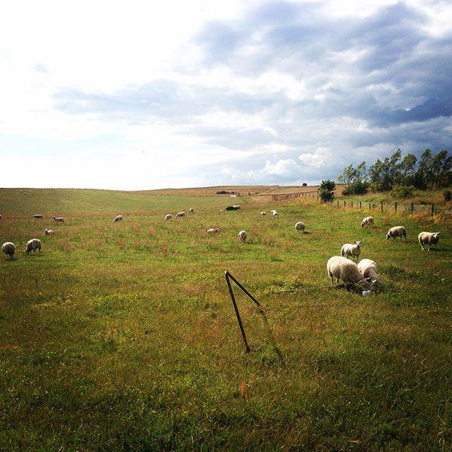 När jag var liten hade jag ett eget lamm. Och nu när vi umgåtts lite i Skåne så minns jag exakt känslan av Gniddes lilla glada mule mot min hand. Får är sköna djur. Mjuka. Säregna.