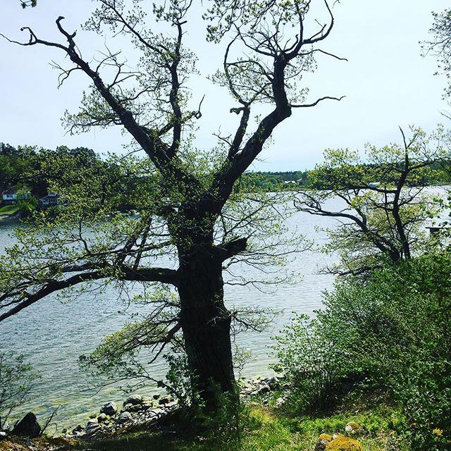Trädet. Stranden. Skarpö.