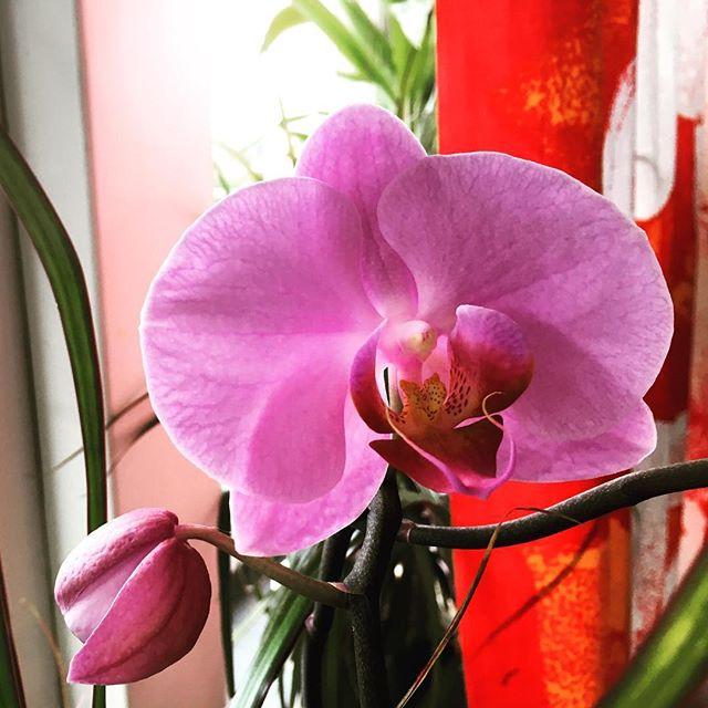 Titta, den blommar! Banne mig! Min första. Tack @sallys_planet för orkidétipsen.