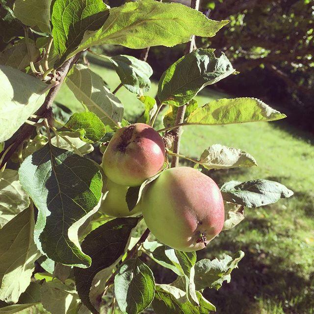 Äppeltider hej hej! Tänk att de har vuxit i min egen trädgård. Lika förundrad varje gång.