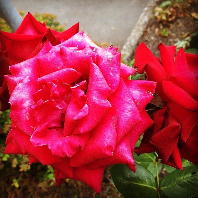 Jag är fascinerad av rosor. Även de som är en aning överblommade. De är nästan finast. Mustigast.