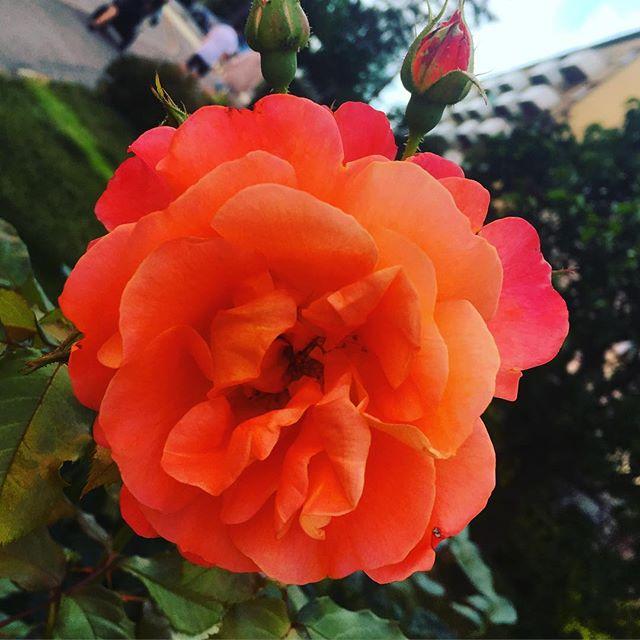 Blommor alltså. Upphör aldrig att fascineras av dem. Hur gör ni? Stressar ni bara förbi - eller stannar ni upp och förundras?