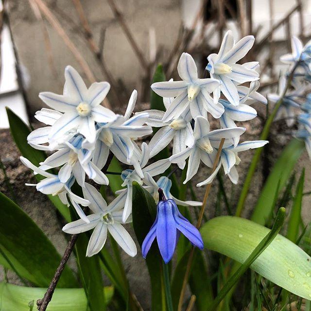 I dag har jag lärt mig att det här är en porslinhyacint. Jag trodde allt i gräsmattan var scilla. Men bara de blå. ️